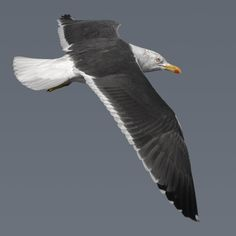 The Lesser Black-backed Gull (Larus fuscus) is a large gull that breeds on the Atlantic coasts of Europe. It is migratory, wintering from the British Isles south to West Africa. It is a regular winter visitor to the east coast of North America, probably from the breeding population in Iceland.