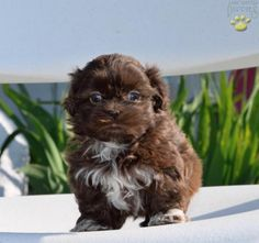 ►◄ ♥ Chocolate Shih Tzu ♥ ►◄ #LancasterPuppies #ShihTzu #Chocolate