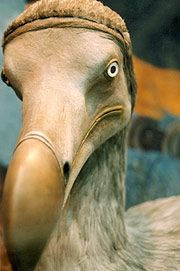 The Dodo (Raphus cucullatus) is an extinct, flightless bird that was endemic to the Mascarene island of Mauritius east of Madagascar in the Indian Ocean.