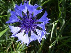 Flor Nacional de  Alemania Aciano (Centaurea cyanus)