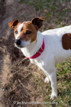 Flash, Adoptable Jack Russell Terrier | Georgia Jack Russell Rescue, Adoption & Sanctuary