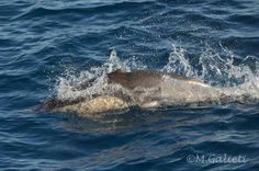 Common dolphin missing a dorsal fin!