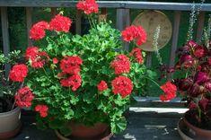 Two Sisters Gardening Geranium Plant, Flower Boxes, Flowers, Plant Information, Geraniums, Korn, Gardening, Ale, Plants