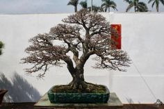 Fun And Eco-Helpful Solutions To Remodel Your Yard Top Chinese Penjing Trees - Bonsai Empire Bonsai Ficus, Bonsai Pruning, Bonsai Plants, Bonsai Garden, Purple Loosestrife, Bonsai Tree Types, Plantas Bonsai, Bonsai Styles, Empire
