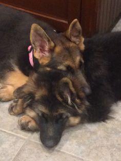 GSD Puppies-Koda & Brooklyn