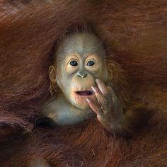Filhote de orangorando enredado nos pelos da mãe em Singapura. De Chin Boon Leng.