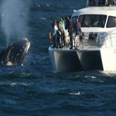 Embark on a private whale watching tour including hotel-pick up from anywhere in Cape Town and travel to the town of Hermanus, one of the best places in South Africa to view the majestic Southernright Whales between the the months of June to mid Dec Best Places To Travel, Places To Visit, South Africa Holidays, South Africa Honeymoon, Tens Place, Whale Watching Tours, Vacation Packages, Day Tours, Cape Town