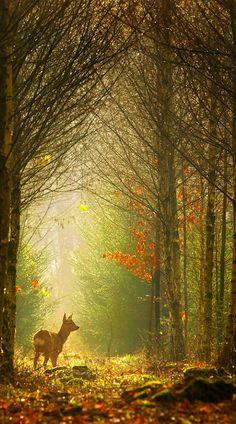 Roe deer at 'Birch Lane' in Brummen, Netherlands • photo: Hennie van Heerden on Flickr
