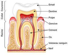 Je profite du passage du dentiste à l'école pour proposer à Crapouillot un dossier sur les dents. Avec des cartes de nomenclatures des dif...