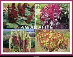 AMARANTE 4 variétés différentes - Le blog de graine-de-fleur.over-blog.com