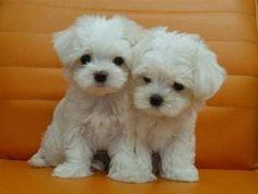 Maltese Puppies                                                                                                                                                                                 More