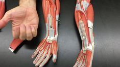 Sal Masi of Hofstra University describes the muscles of the human arm. Arm Muscles, Arms, Anatomy, Youtube, Muscles Of The Arm, Youtubers, Youtube Movies, Weapons, Artistic Anatomy