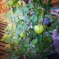 サカタニミホのエコひいき「緑のカーテン~アサガオ、風船カズラ(10月19日現在)」ベランダ柵に設けたアサガオのカーテンは、枯れました。秋植え球根を植える予定です。 タイヤラックに這わせた風船カズラは、まだ茂っています。日除けの役目を果たすには不十分ですが。 http://blog.goo.ne.jp/ecohiiki/e/c3b58ba54321963722bc9f79721b7ac2