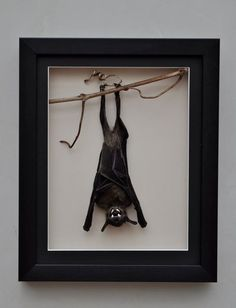 BAT IN A BOX This is a very unusual item, a REAL BAT (Eonycteris Spelaea ) mounted in a shadow box frame with a black mount board having a bevel cut aperture showing a white core NOTE ! this shadow box does not have glass fitted, it would spoil the 3D view of this interesting item of