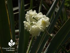 Love my Narcissus Erlicheer peeking out with Yucca pallida!