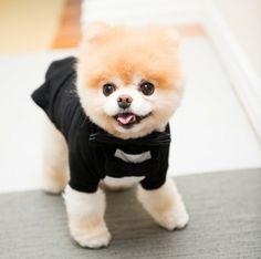 Boo & Buddy - The Coveteur Cute Baby Dogs, Cute Baby Animals, Cute Puppies, Funny Animals, Cute Babies, Jiff Pom, Cavalier King Charles Spaniel, Boo And Buddy, World Cutest Dog