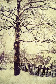 Winter Birch Tree by Jenny Rainbow. #Winter #FineArtPrints #Trees #JennyRainbowFineArtPhotography #White #Snow #Canvas #WallArt #CountrySide