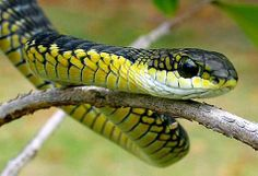 Being bit by a boomslang snake causes you to bleed from all holes of your body. #WTF pic.twitter.com/NuGk2UEx0X