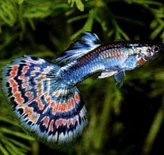 Tropical fish - Fantail Guppy