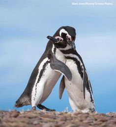 How are penguins similar to humans? A new book describes their social habits via 400 photos: http://on.wsj.com/1r2Jk9w pic.twitter.com/COQE7WDgad