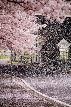 zekkei-beautiful-scenery:Cherry blossoms in Japan Sakura...