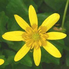 Celandine, Lesser Scientific Name: Ficaria verna