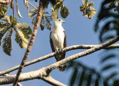 Gavião-de-pescoço-branco (Leptodon forbesi)