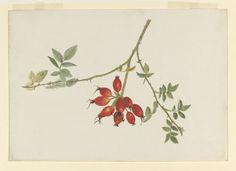 Study of a spray of rose-hips | Potter, Beatrix