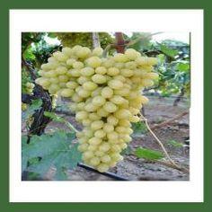 http://www.plantistanbul.com/Plantistanbul-Asma-Uzum-Fidani-SULTANI-CEKIRDEKSIZ-Tuplu,PR-460.html