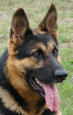 Black and tan gsd german shepherd