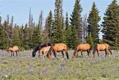 Mustang herd grazing. Somewhere in the West!
