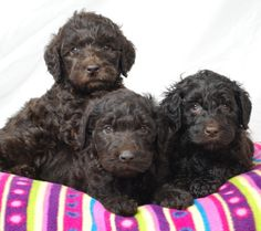 Little Chocolate Labradoodles!!!  It looks like a baby Charley!