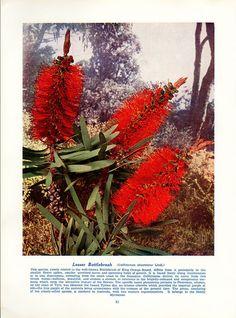 Antique Print FLOWERING AUSTRALIAN PLANTS by VintageInclination