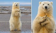 Polar bear dance Alaska