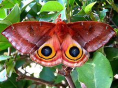 Io moth.  When threatened, the Io moths (Automeris io) will spread their wings to reveal a startling eyespot pattern, used to deter predators!