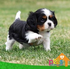This Baby Tri, is trying to step Higher to make Mommy happy. Cavalier King Charles Blenheim, King Charles Puppy, Charles Spaniel, Cute Dogs And Puppies, Baby Puppies, I Love Dogs, Doggies, Cavalier King Spaniel, Spaniel Puppies