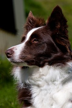 A Border Collie Closeup