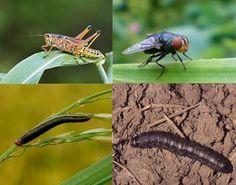Panduan Lengkap Pengendalian Hama Tanaman Jagung - http://www.ruangtani.com/pengendalian-hama-tanaman-jagung/