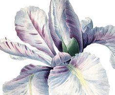 IRIS Instant Download botanical illustration by PixelsTransfer