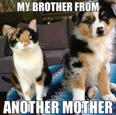 Details about Funny Dog Australian Shepherd Calico Cat Refrigerator / Magnet Gift Card Idea - Funny Animal Quotes - - The post Details about Funny Dog Australian Shepherd Calico Cat Refrigerator / Magnet Gift Card Idea appeared first on Gag Dad. Funny Animal Jokes, Cute Funny Animals, Funny Animal Pictures, Cute Baby Animals, Funny Cute, Funny Dogs, Cute Cats, Funniest Animals, Cat Fun