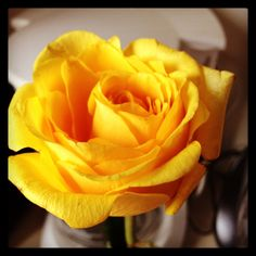 Yellow rose from the streets of Boston :)