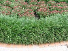 Mondo Grass Ophiopogon japonicus from Zelenka Farms