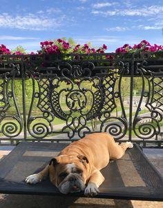 Oscar# English bulldog