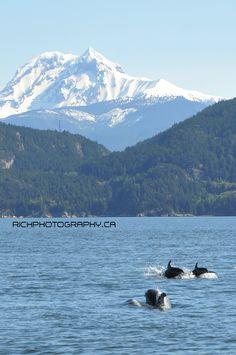 white sided bottle nose dolphins swimming towards Squamish British Columbia