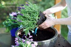 Pěstování a využití levandule