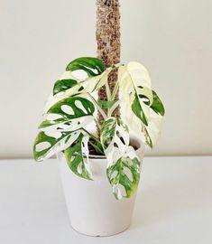 Monstera Adansonii Houseplant Care Guide - That Planty Life - Variegated Monstera Adansonii Big Potted Plants, Rare Plants, Exotic Plants, Cool Plants, Green Plants, Indoor Plants, Unique Plants, House Plants Decor, Plant Decor