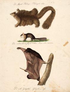 BRODTMANN, Carl Joseph. Der fliegende Phalanger [The flying Phalanger] #creatures
