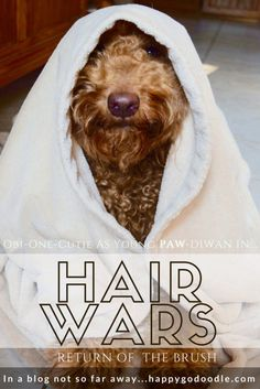 HAIR WARS: May the fur be with you & more funny book and movie parodies. Happy-Go-Doodle Chloe, a goldendoodle and young PAW-dawan, stars as OBe-One-Cutie in this humorous take on Star Wars. Funny Dogs, Cute Dogs, Poodle Mix Breeds, Obi One, Goofy Dog, Funny Doodles, Cute Dog Photos, Doodle Dog, Dog Games
