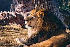 Leijona, Eläinten, Luonnonvaraisten