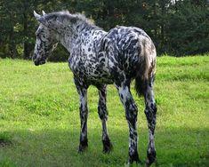 Mystic Warrior (Friesian x Friesian- Appaloosa sport horse) as an adolescent/ yearling (? All The Pretty Horses, Beautiful Horses, Animals Beautiful, Beautiful Things, Appaloosa Horses, Friesian Horse, Majestic Horse, Draft Horses, Horse Breeds